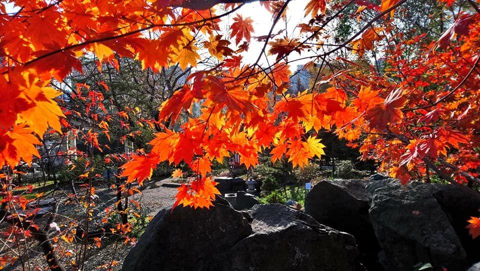 Приморское момидзи: в дендропарке ВГУЭС наступила пора любования красными листьями клена